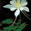 ดอกโคลัมไบน์ ขาว Columbine Flower / 15 เมล็ด thumbnail 2