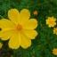 ดาวกระจายสีเหลือง (ต้นสูง) #10 / 100เมล็ด thumbnail 3