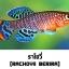 ไข่ปลาคิลลี่ สายพันธุ์ Nothobranchius rachovii (Rachovii Beira 98) จำนวน 50 ฟอง thumbnail 1