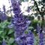 บลูซัลเวีย blue salvia flower / 100 เมล็ด thumbnail 4
