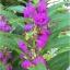 เทียนซ้อน แคนดี้ไวโอเล็ตสีม่วง balsam candy violet / 100เมล็ด thumbnail 1