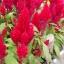 สร้อยไก่ สีแดง Celosia Plumosa castle red / 50เมล็ด thumbnail 1