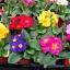 พริมูล่า คละสี Primula Mix / 10 เมล็ด thumbnail 4