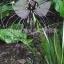 ว่านค้างคาวดำ Black Tiger Shall Orchid Flowers / 5 เมล็ด thumbnail 3