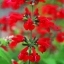 ซัลเวียสคาร์เรทคิงส์ สีแดง Salvia Scarlet King Red / 25 เมล็ด thumbnail 6