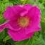 กุหลาบญี่ปุ่น rosa rugosa / เมล็ด thumbnail 1