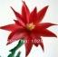 กระบองเพชรก้ามปู หรือมังกรคาบแก้ว Schlumbergera seed Mix / 100เมล็ด thumbnail 6