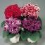 เมล็ดดอกกล็อกซีเนีย ดับเบิ้ล โบรเคด สีผสม (ดอกกุหลาบนางฟ้า) Gloxinia Double Brocade Mix / 30 เมล็ด thumbnail 4