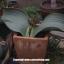 เมล็ดต้นปีศาจทะเลทราย (Welwitschia mirabilis) thumbnail 2