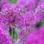 ดอกอัลเลี่ยม ดอกหอม Large flower onion seeds / 25 เมล็ด thumbnail 3