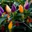 พริก7 สี พริกประดับ7สี Ornamental Pepper / 30 เมล็ด thumbnail 4