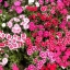 ดอกผีเสื้อ เทลสตาร์ มิ๊กซ์ Dianthus Mix/ 10 เมล็ด thumbnail 1