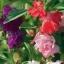 เทียนไทย มิ๊ก Balsam Mix seeds / 100 เมล็ด thumbnail 1