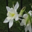 ดอกโคลัมไบน์ ขาว Columbine Flower / 15 เมล็ด thumbnail 4