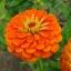 บานชื่นดอกซ้อน#4 สีส้ม (ต้นสูง) Orange Zinnia / 100เมล็ด thumbnail 1