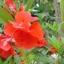 เทียนซ้อน สีแดงอมส้ม #8 Balsam / 50 เมล็ด thumbnail 3