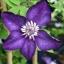 ดอกเคล็มแม็ททิส Clematis / 10 เมล็ด thumbnail 1