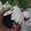 ตุ้มหูนางฟ้า ต่างหูนางฟ้า โคมญี่ปุ่น สีขาว Fuchsia / 20 เมล็ด thumbnail 1