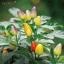 พริกประดับ หลากสี(เม็ดสั้น) Ornamental Pepper / 35 เมล็ด thumbnail 1