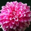 รักเร่ พินาต้า สีผสม Dahlia pinnata Mix / 20 เมล็ด thumbnail 1