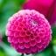 รักเร่ พินาต้า สีผสม Dahlia pinnata Mix / 20 เมล็ด thumbnail 3