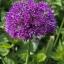 ดอกอัลเลี่ยม ดอกหอม Large flower onion seeds / 25 เมล็ด thumbnail 1