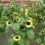 ทานตะวัน วาเลนไทน์ sunflower valentine / 50 เมล็ด thumbnail 4
