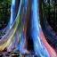 ยูคาลิปตัสสายรุ้ง (Rainbow Eucalyptus) / 20 เมล็ด thumbnail 2