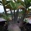 เมล็ดชวนชม ยักษ์ดำ Arabicum black giant/ 10 เมล็ด thumbnail 2