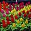 สร้อยไก่ รอยัล มิ๊กซ์ คละสี Celosia Mix / 30 เมล็ด thumbnail 2