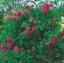 กุหลาบชาร์ลส์เดอมิลส์ Rosa 'Charles de Mills / 10 เมล็ด thumbnail 3