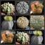 เมล็ดแอสโตรไฟตัม (มาริออดทิกมา) ผสม Astrophytum Myriostigma Mix / 10 เมล็ด thumbnail 1