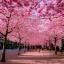 ซากุระญี่ปุ่น เชอรีบอสซัม Sakura / 10 เมล็ด thumbnail 6