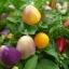 พริกประดับ หลากสี(เม็ดสั้น) Ornamental Pepper / 35 เมล็ด thumbnail 2