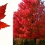 เมเปิ้ลแดง พันธ์ุอเมริกัน Red American Maple / 10 เมล็ด thumbnail 8