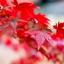 เมเปิ้ลแดง พันธ์ุอเมริกัน Red American Maple / 10 เมล็ด thumbnail 9