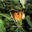 พริกประดับ capsicum frutescens / 15 เมล็ด thumbnail 4
