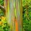 ยูคาลิปตัสสายรุ้ง (Rainbow Eucalyptus) / 20 เมล็ด thumbnail 3
