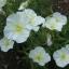 อีฟนิ่งพริมโรส สีขาว Evening Primrose Showy White/ 50 เมล็ด thumbnail 2