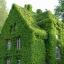 ตีนตุ๊กแกฝรั่ง หรือ บอสตันไอวี่ English Ivy หรือ Boston ivy / 10 เมล็ด thumbnail 3