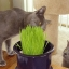 เมล็ดข้าวสาลี เมล็ดหญ้าแมว หญ้าอาหารแมว / 100กรัม thumbnail 3