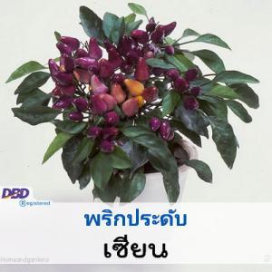 ไม้กระถาง พริกประดับ เซียน (Shien) 4.29-9.00 บาท/เมล็ด