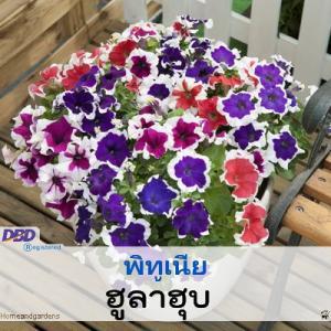 พิทูเนีย ฮูล่าฮุบ (Hulahoop Series) 0.84-1.08 บาท/เมล็ด