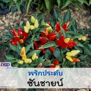 ไม้กระถาง พริกประดับ ซันชายน์ (Sunshine) 4.29-9.00 บาท/เมล็ด