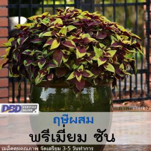 ฤษีผสม พรีเมี่ยม ซัน ( Premium Sun Series) 4.99-5.20 บาท/เมล็ด