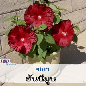 ชบา ฮันนีมูน (Honeymoon Series) 9.9-10.6 บาท/เมล็ด