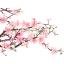 หัวน้ำหอม กลิ่นเชอร์รี่บลอสซั่ม Cherry Blossom thumbnail 1