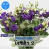 ไม้ตัดดอก ลิซิแอนธัส โรซิต้า 2(Rosita 2 Series) 2.59-2.80 บาท/เมล็ด