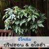 บีโกเนีย กริฟฮอน & อโลฮ่า (Gryphon & Aloha) 9.61-17.50 บาท/เมล็ด