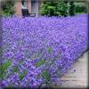 ลาเวนเดอร์ ลาเวนดูล่า เพอร์เพิล (Lavendula Purple) 1.6 บาท/เมล็ด
